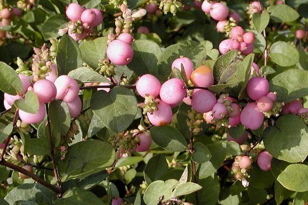 Sneeuwbes 'Magic Berry'    Het belangrijkste kenmerk van de Symphoricarpos x doorenbosii 'Magic Berry' (Sneeuwbes 'Magic Berry') zijn de mooie roze bessen die deze soort na de bloei (vanaf eind juli) krijgt. De Sneeuwbes 'Magic Berry' bloeit van mei tot en met juli met wit-roze bloemetjes. Deze struik wordt tot 100 cm. hoog.
