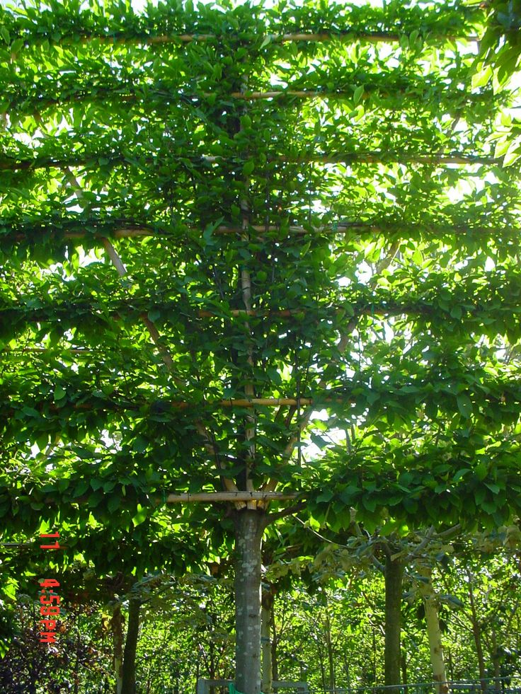 Leis Landscaping Yard : Best images about carpinus betulus on