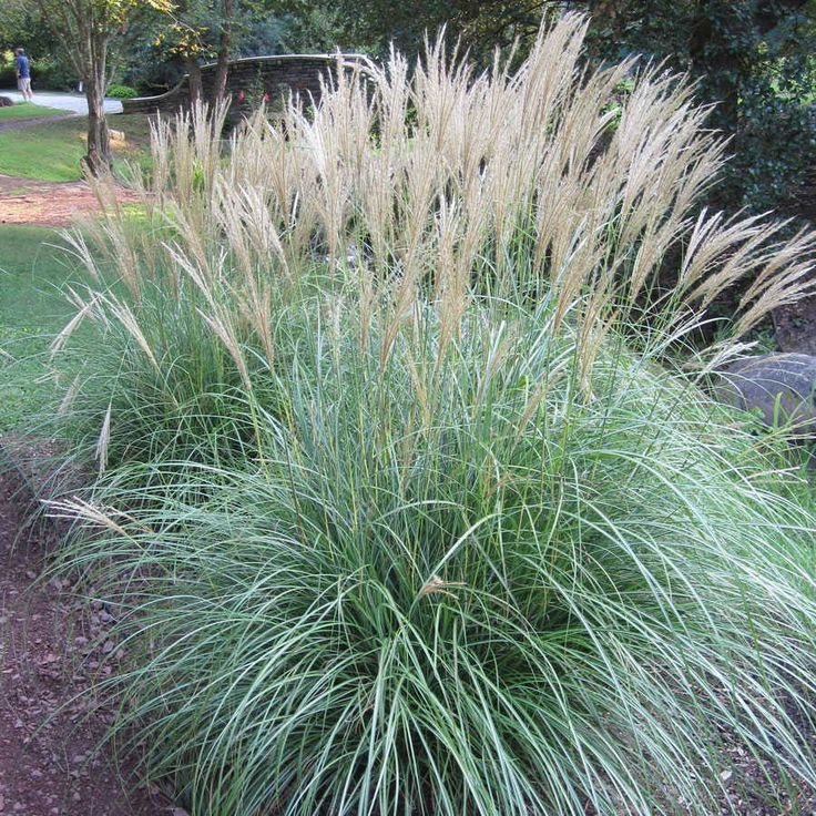 17 best images about miscanthus on pinterest gardens for Coloured ornamental grasses