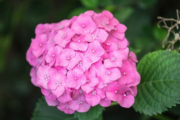 When To Plant Hydrangeas Outside When To Plant Hydrangeas Planting Hydrangeas Limelight Hydrangea