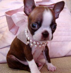 Aww!!!: Dogs, Puppy, Baby, Boston Terriers, Boston Terrier Puppies, Animal