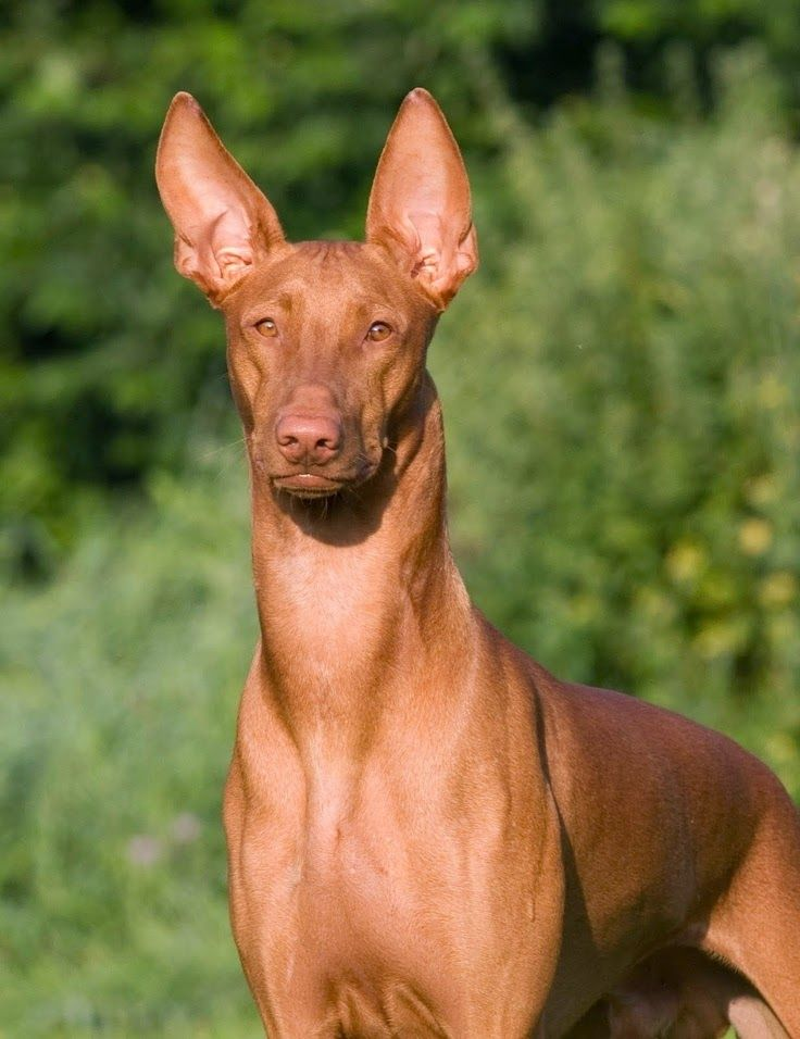 The 5 most expensive dog breeds in the world-Egyptian Pharaoh Hound