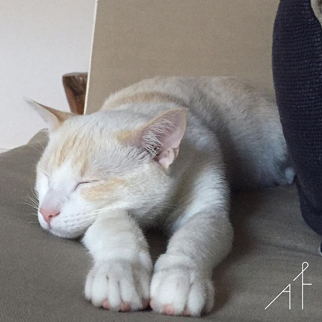 The best therapist has fur and four legs. And nothing like a Saturday session to feel loved  #afewjewels #cat #white #whitecat #instapet #instalovers #pinkpaws #saturday #morning #saturdaymorning #sleep #nap #calm #rest #sofa #catlovers #nature #animal #relax #enjoy #joy #peace #safe #animallove #care #callet #afewpet #fur  #weekend #photooftheday