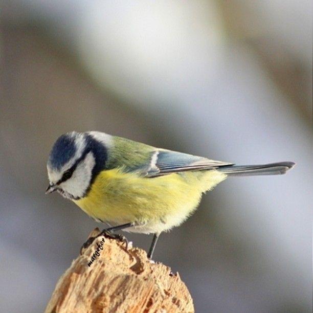 #sinitiainen #bluetit #lintu #bird #lintukuva #birdlover #birdphotography #birdlovers #birdfanatic #winter #talvi #instanature #naturelovers #thisisfinland #igscandinavia #ilovenature #ig_europa #loves_finland #nature by margefor