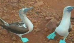 Blue-footed Boobies doing their breeding dance