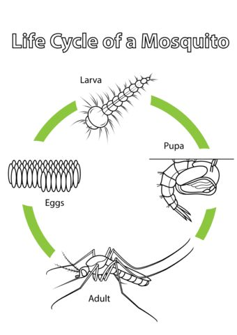 Life Cycle of a Mosquito coloring page from Biology category. Select from 24848 printable crafts of cartoons, nature, animals, Bible and many more.