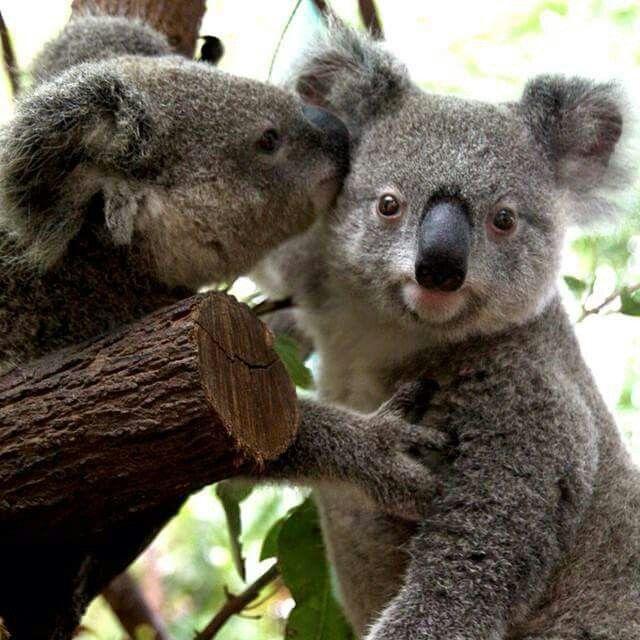 The Koala The Koala