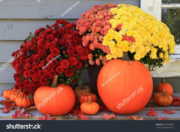 Picture of beautiful arrangement of typical for Autumn and Thanksgiving pumpkins, mini pumpkins and red, yellow and pink fall mums in front of country old wooden home used as background