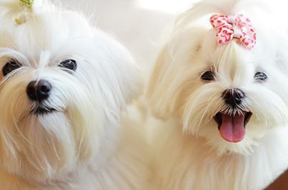 Such beautiful little Maltese fluffs.