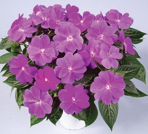 Impatiens- New Guinea Harmony Dark Lilac