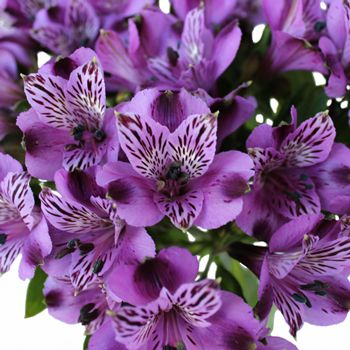 Add Grape Purple Peruvian Lilies to your wishlist today at FiftyFlowers! These stunning Alstroemeria Flowers will dazzle at your next event. Great in wedding bouquets, table centerpieces or any floral arrangement! In packages of 100 to 200 stems Grape Purple Peruvian Lilies are sent fresh from the...