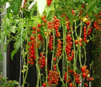 Tomato Planting Get The Best Results Garden Design