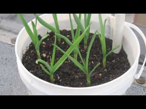 potted garlic indoors from grocery garlic sprouts