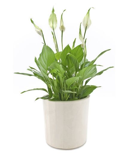Peace Lily (Spathiphyllum spp.) | Fill your workspace with some greenery—it might make your workday better. Christopher Satch, The Sill's in-house plant expert, shares the best office plants that can withstand limited sunlight, freezing temps (thanks to that overzealous office AC), and little water.