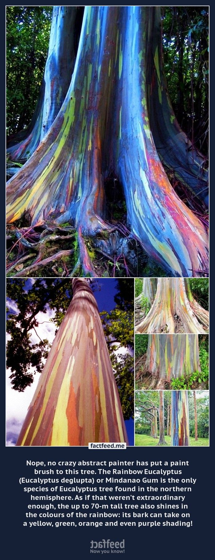 Nope, no crazy abstract painter has put a paint brush to this tree. Meet the Rainbow Eucalyptus.