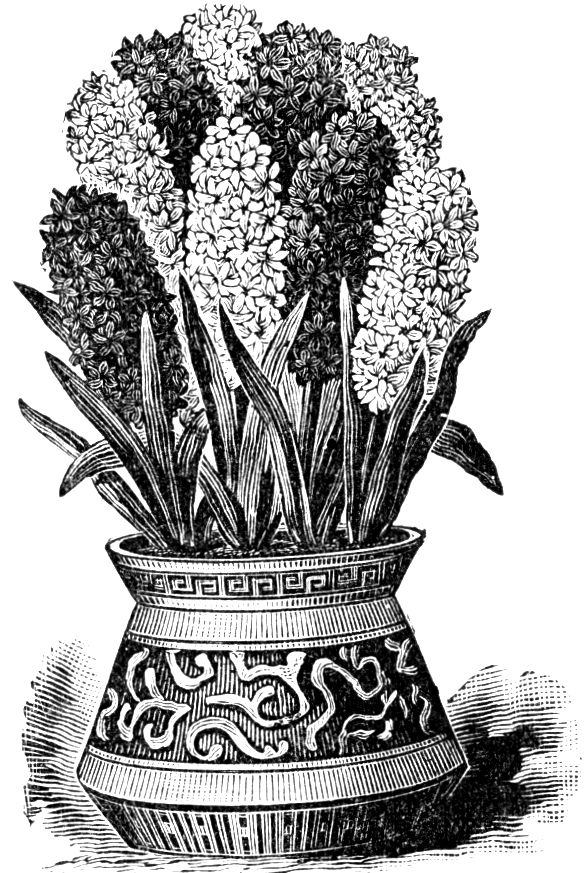find this pin and more on bolbloemen hyacinth
