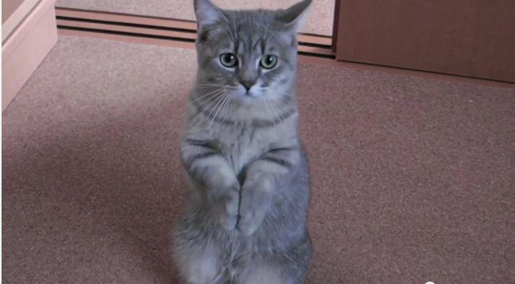 El gatito que pide el desayuno de una forma peculiar   Cuidar de tu gato es facilisimo.com