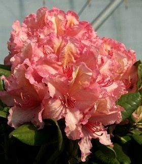 Best Rhododendron Plant Ideas Only On Pinterest Plants For