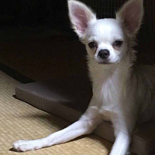 プリンちゃん、 あなた大きくなるすぎだょ?😑 チワワ×マルチーズって こんなに大きくなるの?😅 まだ、5ヵ月なのに…🐶 家の前を通る小学生達に 猫って言われるプリンちゃんw 全体的にチワワなのに 骨格はマルチーズ😓 でも、マルチーズにしては 大きいような気がする?🤔 もう何犬か分かりませんw #chihuahua#chiwawa#chihuahualove#doglover #愛犬#チワワ#多頭飼い#ロングコート#スムース #ロンチー#スムチー #マルチワワ#チワマル#パピー #愛犬だいすき#チワワ大好き#犬だいすき #愛犬家#チワワ部#チワマル部#犬バカ #いぬすたぐらむ#イヌスタグラム #犬なしでは生きていけない