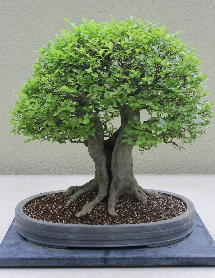 Learn more about bonsai at: http://alllawnandgarden.blogspot.com/p/bonsai-trees.html