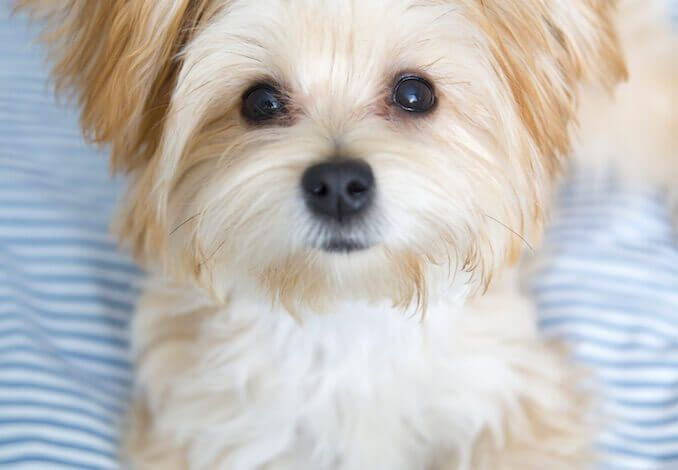 Morkie Dog Complete Guide To Maltese Yorkie Mix Morkie Dogs