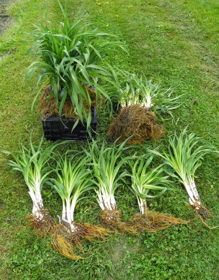 Daylily roots grow as offsets.  This short video shows gardeners how to dig up and divide offset plants to maximize space in their garden and maintain healthy plants.