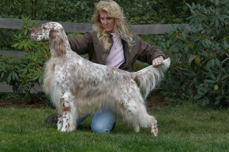 English Setter Breed Winner National Dog Show