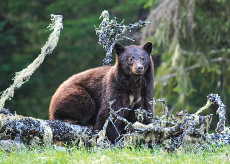 Bear Awareness and Safety - UNBC Continuing Studies Online Course