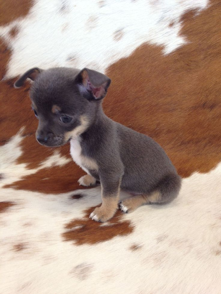 blue chihuahua puppies best 25 chihuahuas ideas on pinterest chihuahua 5825