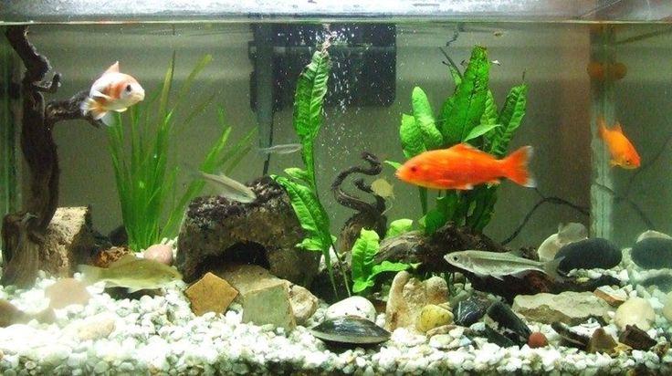 Las plantas en el acuario de agua dulce - http://www.depeces.com/las-plantas-acuario-agua-dulce.html
