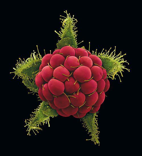 Rubus phoenicolasius | by Rob Kesseler
