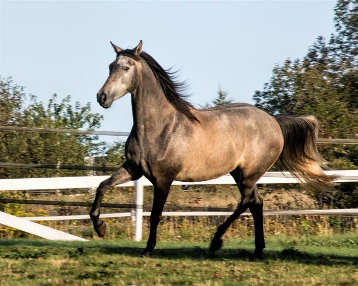 Andaluz Razas de caballo