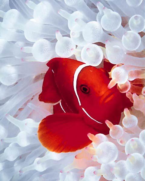 Spinecheek Clownfish