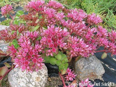 Kaukasianmaksaruoho - Sedum spurium 'Roseum'