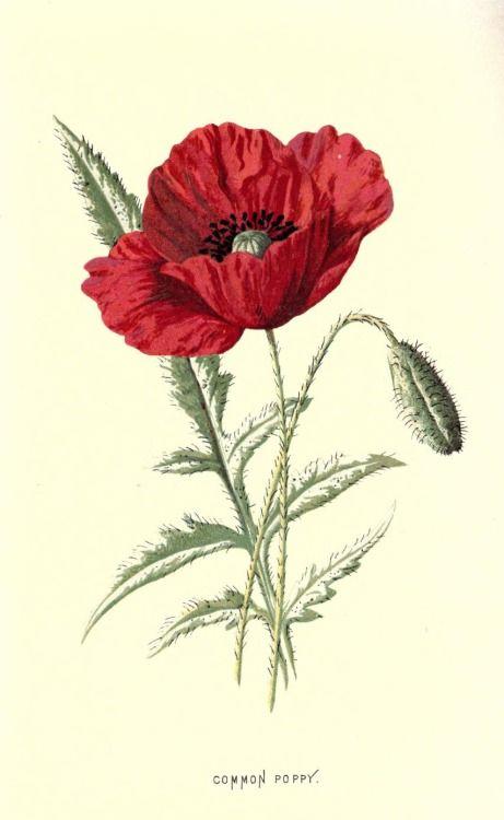 Common Poppy Plate From Familiar Wild Flowers By F Edward Hulme