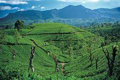 Sri Lanka Ceylon Tea Trai. #VisitSriLanka