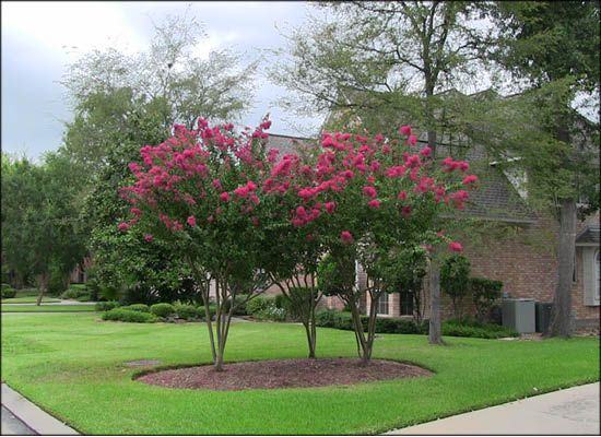 Crape Myrtle Trees for Sale | Arizona Flowering Trees - Moon Valley Nursery