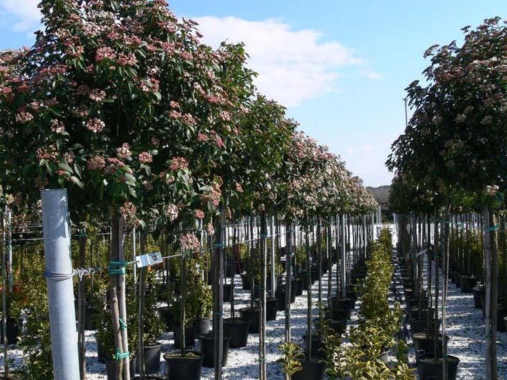 viburnum tinus gwenllian op stam - Google zoeken
