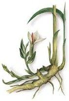Fiche bibliothèque technique huile essentielle de Cardamome - Elletaria cardamomum