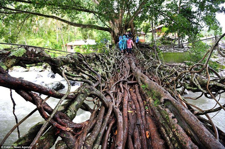 13. Мост из корней деревьев, на строительство которого ушло 26 лет. Местные жители просто направляли корни в нужном направлении.