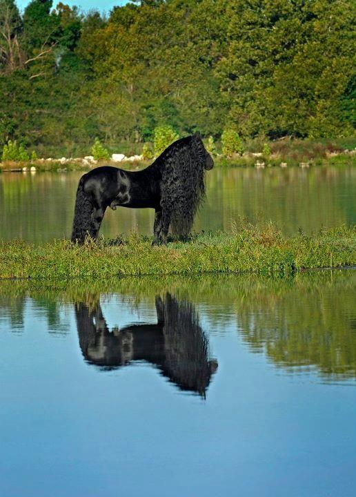 Frederik The Great-Friesian stallion