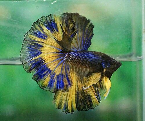 Blue and yellow betta fish - photo#8