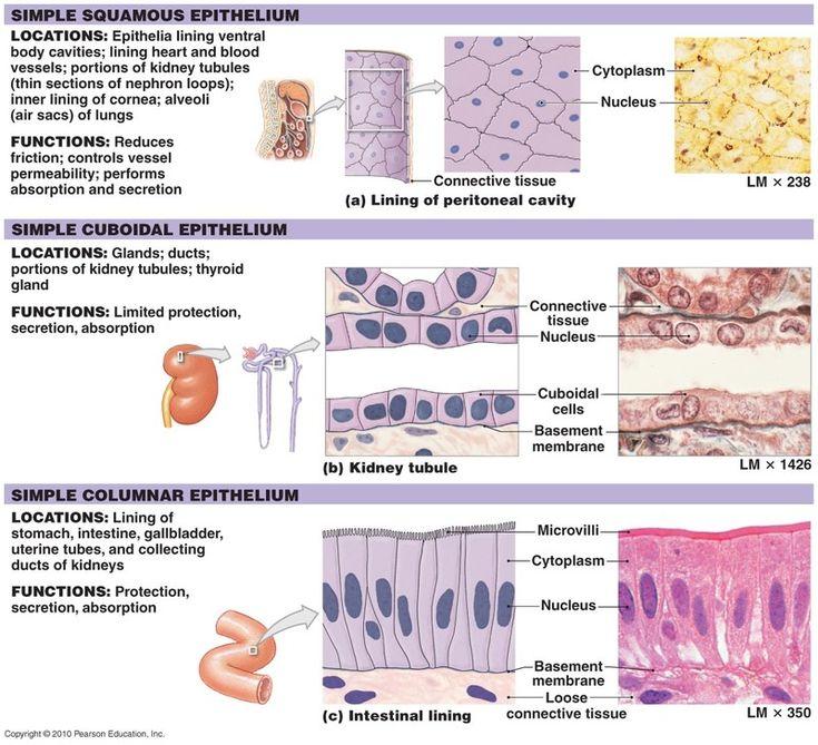 epithelial tissue types Google Search Medicine