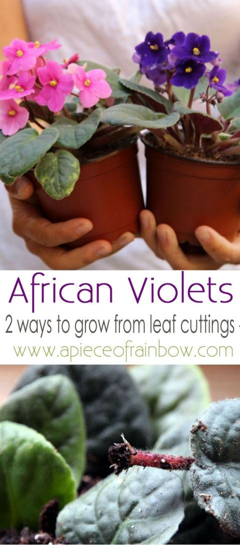 Grow African Violet From Leaf Cuttings | Africans, Violets ...