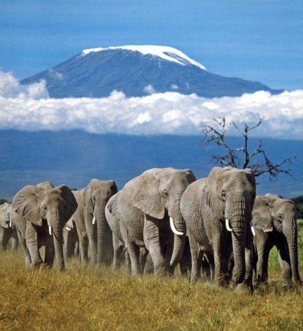 Le Kilimandjaro, en Tanzanie Célèbre pour son superbe pic Uhuru recouvert de neige, le Kilimandjaro est non seulement l'un des plus hauts sommets du monde (5 891 mètres), mais aussi l'un des plus beaux. Trônant majestueusement au cœur des plaines de Tanzanie, le Kilimandjaro est le point culminant du continent africain. Ce massif est un ensemble de trois volcans éteints qui font partie de la vallée du grand rift, immense ensemble ...