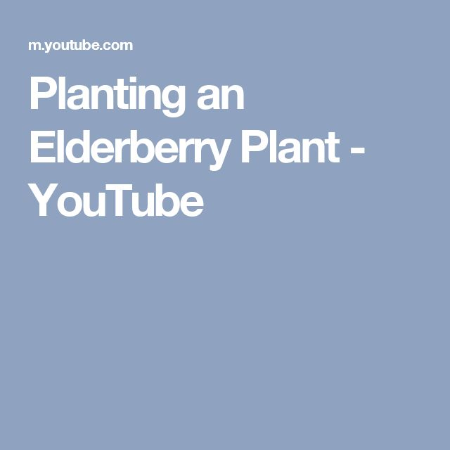 Planting an Elderberry Plant - YouTube