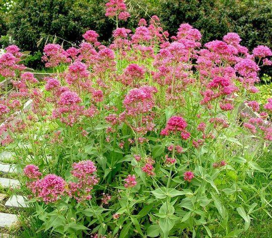 17 meilleures id es propos de plantes vivaces sur for Arrosage exterieur