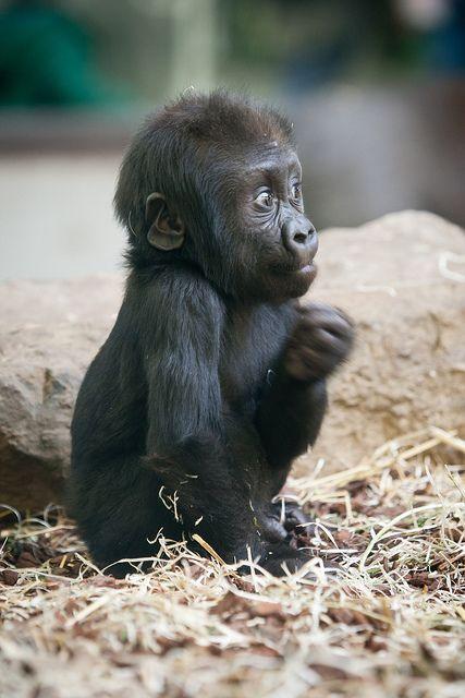 Baby Gorilla   by: A.J. Haverkamp, via Flickr