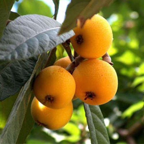 Frutas de A a Z - Nespera