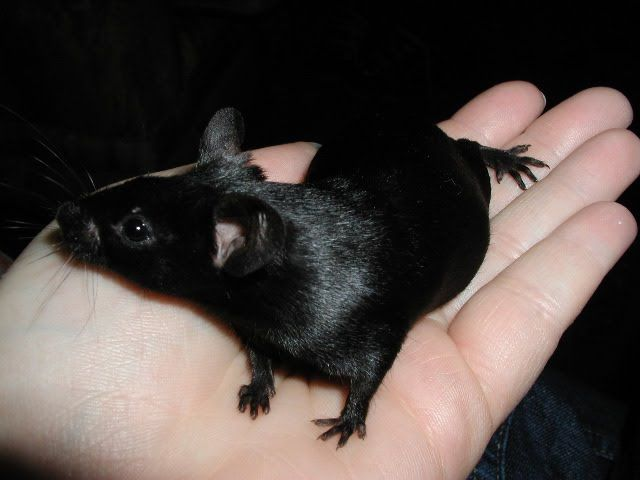 Fancy Mouse - BLACK  The breed standard of this variety should be totally black with no white or grey including feet, ears and tails.